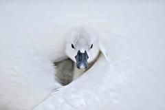 Mute Swan Cygnets (Jacky Parker Floral Art) Tags: white bird nature birds horizon
