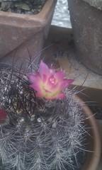 Neoporteria Villosa (_tricinn_) Tags: villosa neoporteria flickrandroidapp:filter=none