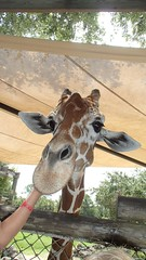 OLYMPUS DIGITAL CAMERA (drjeeeol) Tags: zoo giraffe fav triplets fathersday toddlers 2013 fathersday2013 57monthsold