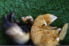 Ferret (Lohb) Tags: animal animals canon ferret mammals active 6d laze mustelaputoriusfuro 24105mm