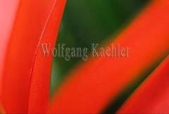 80004232 (wolfgangkaehler) Tags: red plant abstract southamerica closeup leaf rainforest artsy bromelia plantlife macrophotography southamerican rainforestflower rainforestplant