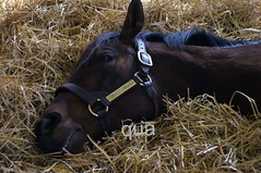 Quality Road- Has had a long day! (cgerry77) Tags: farm kentucky stallion thoroughbred