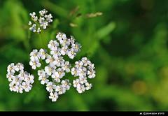 FlowerIsland (H. Eisenreich) Tags: flowers nature nikon bl
