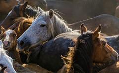011 (Angel T.) Tags: españa horse white black color blanco caballo spain negro galicia estrada tradition pontevedra stallion tradicion rapa sabucedo bestas