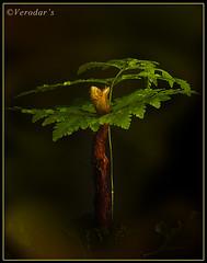One day I will be a forest (VERODAR) Tags: fern nature forest nikon rainforest jungle sarawak malaysia borneo kuching nikond5000 verodar veronicasridar
