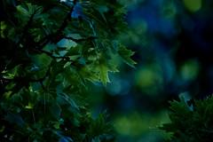 Lovely Leaves (Minolta SR-T 101, DM Paradies 400) (baumbaTz) Tags: tree film leaves analog germany deutschland leaf minolta kodak bokeh iso400 atl hamburg july ishootfilm 300mm 101 400 tele epson analogue juli blatt leafs blätter dm analogphotography baum minoltasrt101 srt101 2200 srt paradies c41 filmphotography jobo fpp catchycolorsgreen rokkor v500 rebranded filmisnotdead autolab 2013 tetenal analoguephotography colortec filmforever epsonv500 dmparadies400 tetenalcolortecc41kit filmphotographyproject atl2200 joboautolabatl2200 minoltatelerokkor300mmf45 20130720
