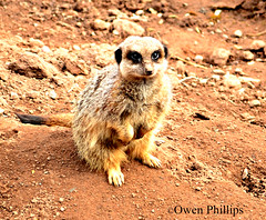 Meerkat on watch (Owen-P) Tags: nature animal fur mammal meerkat nikon sitting farm african wildlife tail posing flickraward d5100