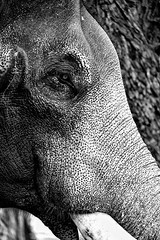 The King (Navansphotography.com) Tags: travel elephant canon blackwhite solitude king solitary thrissur lightroom elephasmaximus 500d canon500d eoskissx3 silverefexpro canonrebelt1i therealking