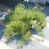 "Asparagus Fern • <a style=""font-size:0.8em;"" href=""http://www.flickr.com/photos/101656099@N05/9736794158/"" target=""_blank"">View on Flickr</a>"