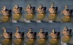 DuckCollage (T's PL) Tags: water virginia duck nikon va stauntonva gypsyhillpark nikontamron d5100 nikond5100 gypsyhillduckpond