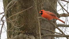 Red in the Tree (Ken Krach Photography) Tags: cardinal maryland baltimore