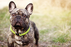 Hatchi (Juliette Plus) Tags: dog canon french fun 50mm funny bulldog frenchie franais dogphotography bouledogue dogfotografie