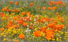 Cream Cup Party (tdlucas5000) Tags: california flowers flower bokeh cream cups poppies lancaster wildflowers bouquet californiapoppy creamcups