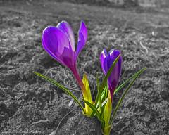 Winter Doldrum Flowers_1162 (smack53) Tags: flowers canon spring lawn crocus powershot springtime g12 lpants pe12 smack53