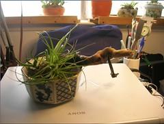 Cactus-Tillandsia-1 (cuirung) Tags: jade gollum haworthia airplant crassula felina faucaria perforata tigerjaw cactustillandsia bulbbolsa