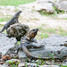 Iguanidae Iguanidae Chichn Itz