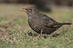 Blackbird (Gareth Keevil) Tags: winter wild detail sunshine birds yorkshire blackbird nikond810 nikon200400mm henblackbird rspboldmoor garethkeevil