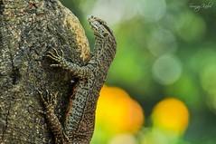 Bengal Monitor (Sunny Kabir) Tags: wild nature wildlife sunny monitor lizard bengal kabir