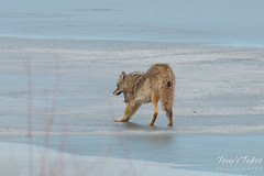 Male coyote stretches and strolls on the ice