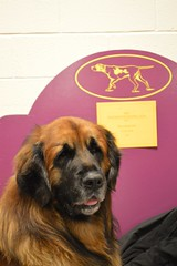 dog newyork dogs grooming american dogshow breed handler westminsterkennelclub conformation