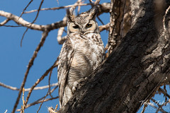 March 15, 2015 - One of Thornton's resident Great Horned Owls enjoying the mild weather. (Tony's Takes)
