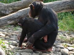 Sembe and Fumo (myopixia) Tags: chimpanzee taronga tarongazoo kuma fumo pantroglodytes sembe myopixia