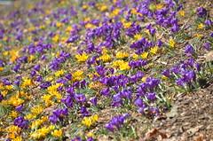 SpringIsOnTheWay (T's PL) Tags: flowers virginia nikon outdoor crocus roanoke va roanokeva yabbadabbadoo d7000 tamron18270 nikond7000 tamron18270mmf3563diiivcpzd mountainviewreccenter