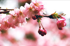 In a sea of blossoms (lunaryuna) Tags: pink colour tree primavera nature spring mood bokeh blossoms cherryblossom sakura lunaryuna fruehling kirschbluete seaofblossoms theenchantmentofseasons