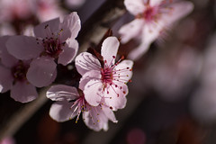 the plums have flowered (johngpt) Tags: flowers trees flower tree plumblossoms floweringplum outsidework ornamentalplum x1fbokeh tpfflowers fujifilmxt1 fotodioxfdfxadapter kiron105mmf28macrofdmount