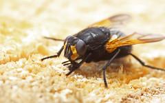 Mesembrina meridiana (3) (saracenovero) Tags: flies diptera 2014 muscidae mesembrinameridiana fliesoflithuania