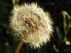 3-13-15 373 (LeeLee's pictures) Tags: 31315 mississippiriver woods nature dandelions yellow flower wildflower weeds makeawish white flyaway