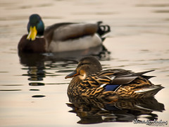 What the duck? (Chraash) Tags: park blue green bird nature water birds animal animals norway canon outside photography norge photo duck spring flickr ducks bergen ender 2015 canon700d