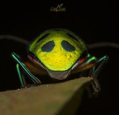Green Jewel Bug (Atul Vartak) Tags: bug jewel hemiptera scutelleridae chrysocoris