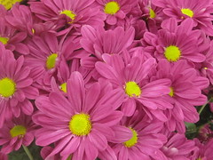 Pink Daisy Flowers (shaire productions) Tags: pink flowers plants green nature floral leaves garden photo spring flora image artistic outdoor picture petal growth creation photograph vegetation daisy element