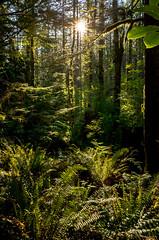 Morning Sunburst at Rattlesnake Mountain (jetcitygrom) Tags: trees portrait plants mountain nature forest washington woods shadows angle natural bend personal north wide highlights jungle ledge gr ferns rattlesnake ricoh sunstar