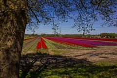 Tulpenvelden Drenthe-50 (Gerald Schuring) Tags: holland tulips bloemen narcis drenthe tulpen bloem narcissen bollenvelden tulpenvelden