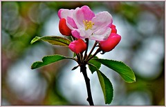 Spring beauty. (jeansmachines24) Tags: pink green spring bokeh appleblossom clyne 2016