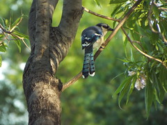 Blue Jay, May 12, 2016 (gurdonark) Tags: park blue green bird birds texas jay allen wildlife corvid wildflife