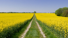 2016-05-08-001-MaMa - Landsberg - Landschaft - 0071 - C00001s - W1920 (mair_matthias_1969) Tags: lumix panasonic dmcg7 dmcg70 mft microfourthirds g7 g70 lumixg7 lumixg70 nophotoshop keineschmutzigentricks ohneschmutzigetricks nodirtytricks gvario14140f3556 rape raps outdoor landschaft landscape canola