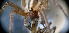Male funnel weaver... Iscorama anamorphic (Small Creatures) Tags: spider nikon speedlight anamorphic cinemascope isco grassspider d40 funnelweaver pedipalp nikond40 sb23 iscorama funnelwebweaver nikkorh85mm anamorphicmacro iscoramamacro anamorphiccloseup iscoramacloseup