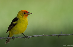 Western Tanager, Utah (ebuechley) Tags: