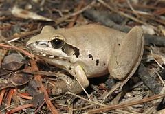 Broad-palmed Rocket Frog (Litoria latopalmata) (Heleioporus) Tags: new wales south frog rocket litoria tumut latopalmata broadpalmed