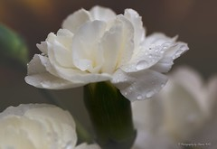 White Carnations (Sharon Wills) Tags: flowers white flower bloom carnation carnations