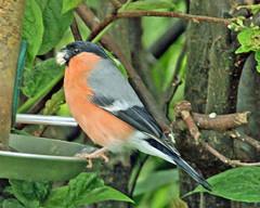 Bullfinch. (Blossom's Mom.(Sheila Hess)) Tags: bird garden may finch bullfinch 2016