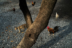 Cycle (Tavepong Pratoomwong) Tags: red tree chicken rock cat thailand bangkok cycle streetphoto tavepong