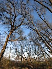 IMG_2111 converging trees (jgagnon63@yahoo.com) Tags: park trees spring michigan shoreline may serene tangle veteranspark citypark greenspace cottonwoods uppermichigan escanaba canons110 treeappreciation deltacountymi treetrance