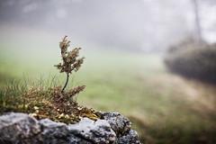 Rainy Days (memories-in-motion) Tags: plant nature grass rain rock fog canon eos iso100 austria tirol sterreich mood nebel bokeh earth natur pflanze meadow wiese 85mm f16 rainy gras grn fels stein regen strauch zillertal erde wacholder juniperus ef85mmf12liiusm canoneos5dmarkiii 5dmarkiii