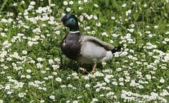 Duck In The Daisies (saxman1597) Tags: flowers portrait england bird nature beauty daisies duck nikon wildlife feathers mallard nikond3300 washingtonwetlandcentre tamronsp70300divcusd d3300