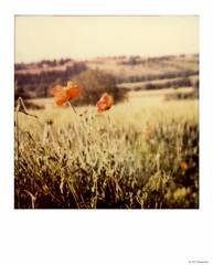 Polaroid SX 70 (Eli PAMSCARC) Tags: nature fleurs polaroid sx70 couleur coquelicots impossibleproject colorsx70