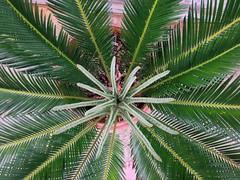 Sago Cycle of Lfe (Howdy, I'm H. Michael Karshis) Tags: life new sanantonio yard backyard grow fresh palm beginning cycle karshis saygo